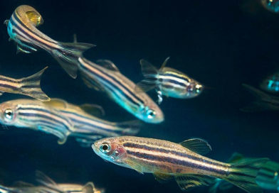 This AI can identify a single zebra-fish out of a 100